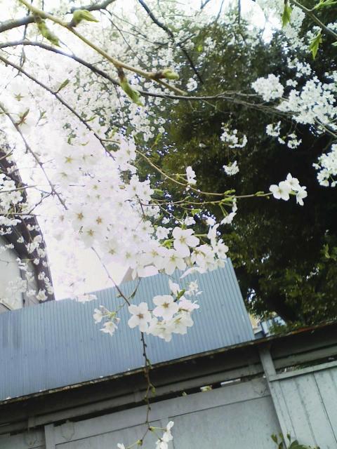舞い散る桜。