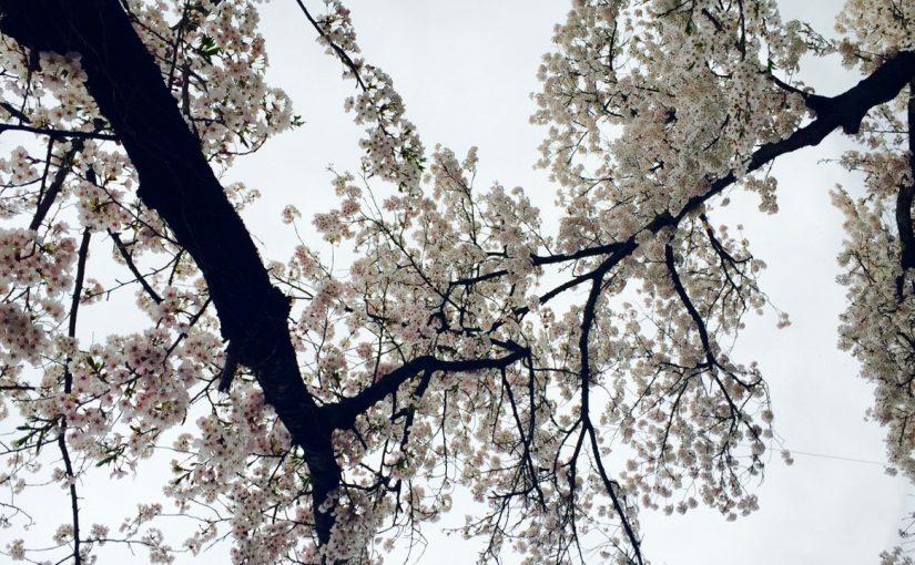 春に散る花、きみという僕。